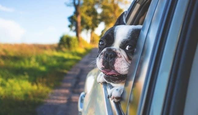 perro en un coche de renting